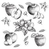 Grupo de maçã tirada mão Ilustração do estilo do esboço do vintage Alimento orgânico do eco Partes inteiras, cortadas meias, folh Imagens de Stock