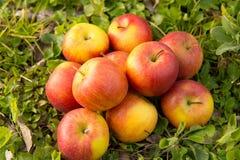 Grupo de maçãs na grama, perto de uma árvore Imagem de Stock Royalty Free