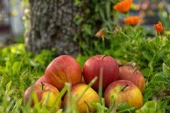 Grupo de maçãs na grama, perto de uma árvore Imagens de Stock Royalty Free