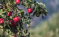 Grupo de maçãs vermelhas em uma árvore Foto de Stock Royalty Free