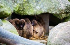 Grupo de macacos Foto de Stock