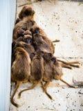Grupo de macacos Foto de Stock Royalty Free