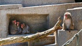 Grupo de macacos no jardim zoológico que passa o tempo Imagem de Stock Royalty Free