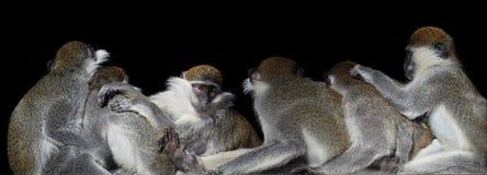 Grupo de macacos que sentam-se em seguido perto de se e de um sa Imagens de Stock Royalty Free