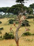 Grupo de macacos que sentam-se em uma árvore  Fotografia de Stock
