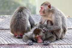 Grupo de macaques japoneses que se relajan Fotografía de archivo libre de regalías