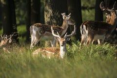 Grupo de machos jovenes del dama del dama de los ciervos en barbecho en landsc del campo Fotografía de archivo