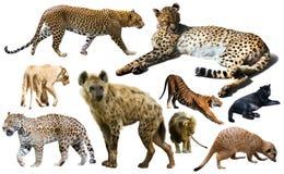 Grupo de mamíferos selvagens isolados sobre o branco Imagem de Stock Royalty Free