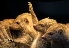 Grupo de mangustos juvenis Imagens de Stock Royalty Free