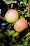Grupo de manzana verde y roja Foto de archivo