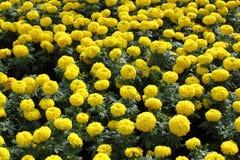 Grupo de marigold amarelo Imagem de Stock