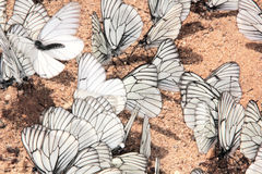 Grupo de mariposas. Fotografía de archivo