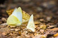 Grupo de mariposas que pudelan en la tierra Imagenes de archivo