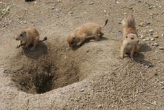 Grupo de marmota de pradera de cola negra - ludovicianus del Cynomys Imagenes de archivo