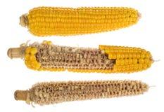 Grupo de mazorcas de maíz hervidas aisladas en el fondo blanco fotografía de archivo