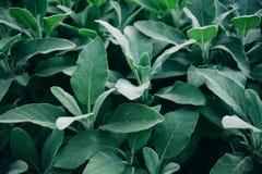 Grupo de medicinal sabio con las hojas aterciopeladas, primer de las plantas Foto de archivo libre de regalías