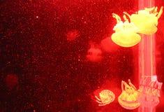 Grupo de medusas rojas claras imagen de archivo