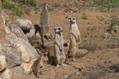 Grupo de Meercats imágenes de archivo libres de regalías