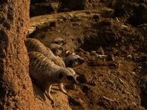 Grupo de Meerkats imagem de stock