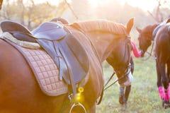 Grupo de meninas do cavaleiro que andam com os cavalos no parque Fotos de Stock Royalty Free