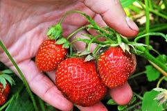Grupo de morangos frescas em suas mãos Imagens de Stock