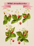 Grupo de morangos silvestres Imagens de Stock