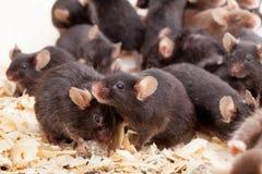Grupo de Mouses Imagens de Stock