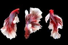 Grupo de mover los pescados que luchan siameses, pescados beta en backgr negro imagen de archivo