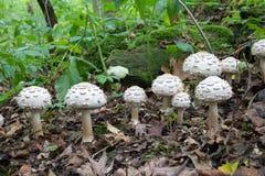 Grupo de muchas setas del blanco que crecen en el bosque, parasol lanudo fungoso potencialmente venenoso - rhacodes de Chlorophyl Fotos de archivo libres de regalías