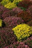Grupo de mums amarelos e cor-de-rosa foto de stock