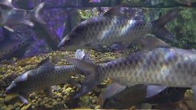 Grupo de nadadas de los pescados sobre parte inferior pedregosa Primer grande de los pescados metrajes