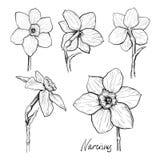 Grupo de narciso das flores Imagem de Stock