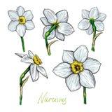 Grupo de narciso das flores Fotografia de Stock