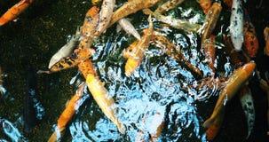 Grupo de natação colorida dos peixes do koi na lagoa Imagem de Stock