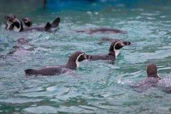 Grupo de natação dos pinguins fotografia de stock royalty free