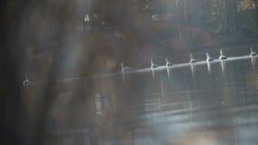 Grupo de natación del cisne en un lago almacen de metraje de vídeo
