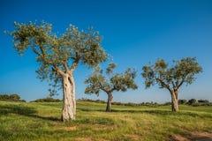 Grupo de oliveiras velhas Fotos de Stock
