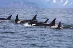 Grupo de orcas no selvagem foto de stock