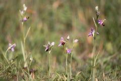Grupo de orquídeas de abeja y de x28; Apifera& x29 del Ophrys; en flor Imagen de archivo libre de regalías