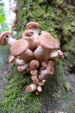 Grupo de ostoyae del Armillaria (Honey Mushroom) Imagen de archivo