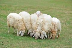 Grupo de ovejas Fotografía de archivo libre de regalías