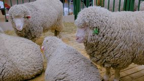 Grupo de ovejas almacen de metraje de vídeo