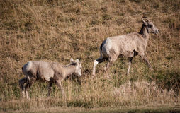 Grupo de ovejas grandes del cuerno foto de archivo