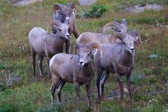 Grupo de ovejas grandes del cuerno de la montaña rocosa en el Parque Nacional Glacier, Montana Imagen de archivo libre de regalías