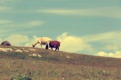 grupo de ovejas que caminan en la montaña Fotografía de archivo