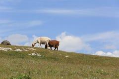 grupo de ovejas que caminan en la montaña Fotos de archivo libres de regalías