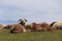 grupo de ovejas que caminan en la montaña Foto de archivo libre de regalías