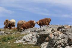 grupo de ovejas que caminan en la montaña Fotos de archivo