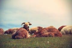 grupo de ovejas que caminan en la montaña Fotografía de archivo libre de regalías