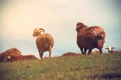 grupo de ovejas que caminan en la montaña Imagen de archivo